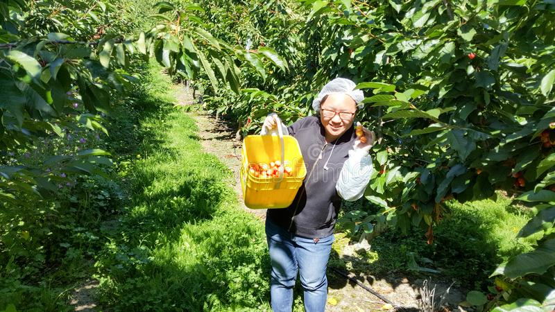 年轻旅客在新西兰采摘从树的新鲜的樱桃 免版税库存图片