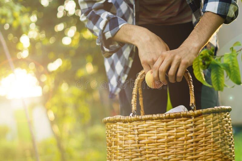 年轻有胡子的人采摘从树的桃子入篮子与通过树照亮太阳 免版税图库摄影