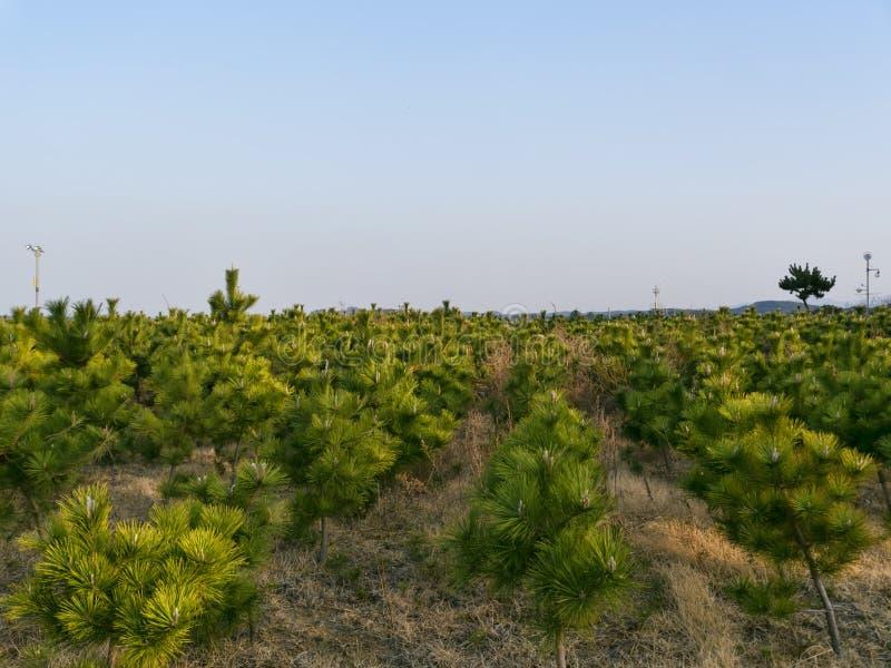 年轻杉木丛林在Yangyang市 免版税库存图片