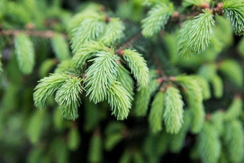 年轻杉木针特写镜头 背景绿色自然 库存照片