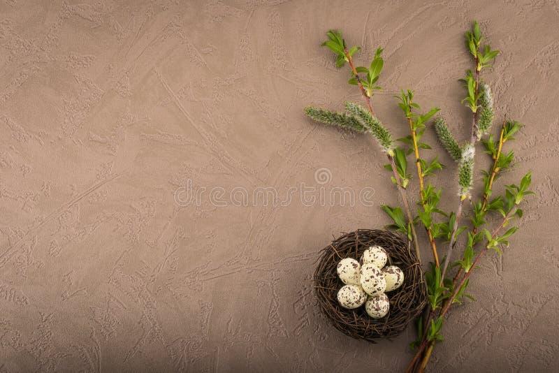 年轻杨柳分支和巢用鹌鹑蛋 免版税库存图片