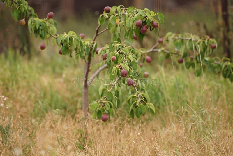 年轻果树用生长在夏天庭院里的黑暗的伯根地梨 免版税库存图片