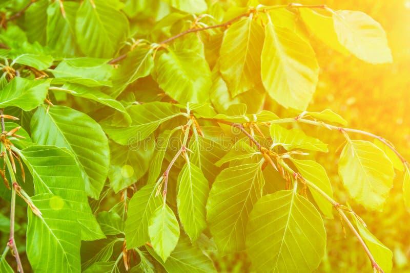 年轻树枝新绿色留下植物的叶子背景 金黄阳光火光 唤醒本质 春天夏天 库存照片