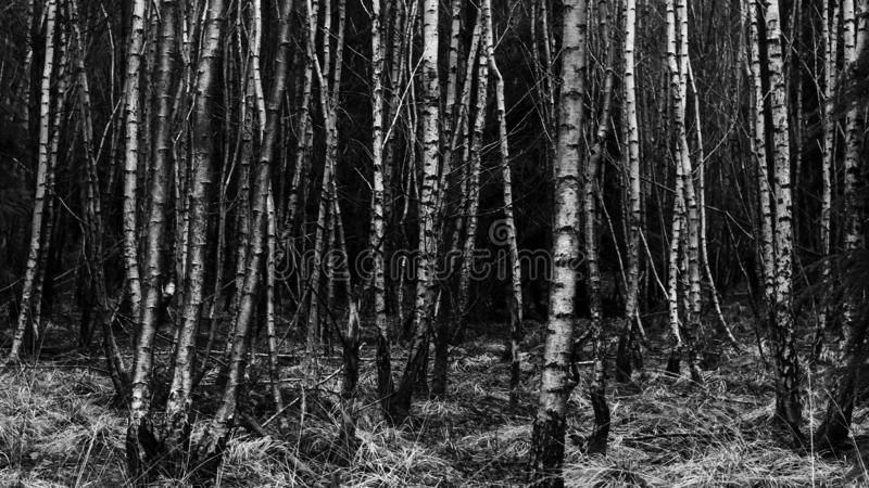 年轻树森林  免版税库存图片