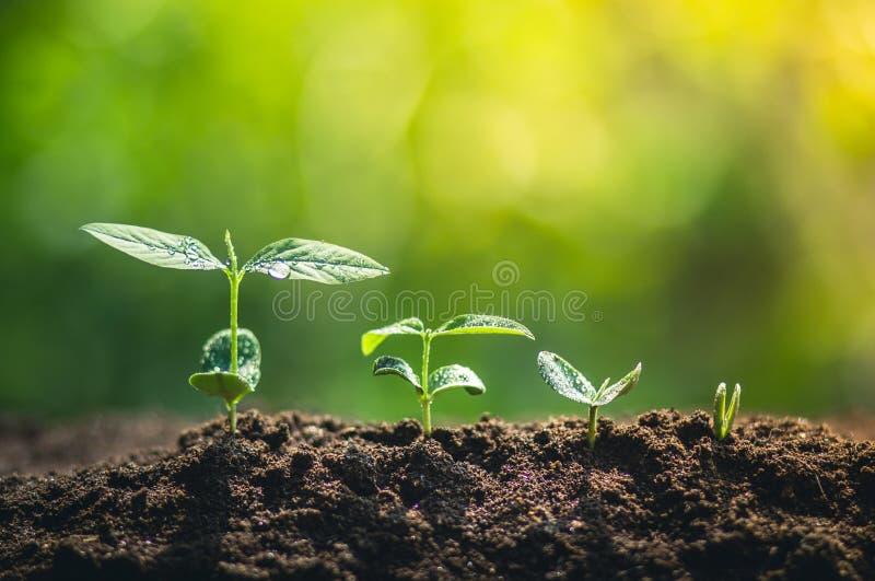 在春天的新新芽,特写镜头 农夫生长植物的手树自然本底,种植一棵树