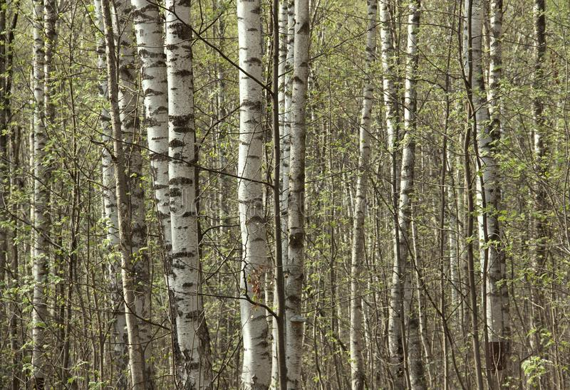年轻桦树在树丛里在春天 库存图片