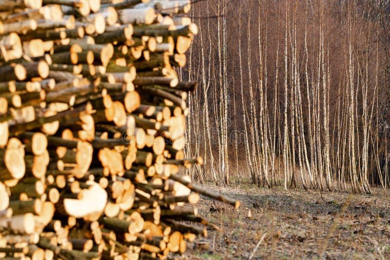 年轻桦树森林在波兰山裁减了集中于树 免版税库存照片