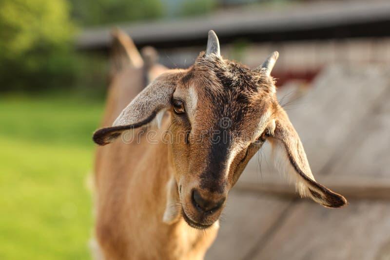 年轻棕色山羊孩子调查照相机的,在头的细节 免版税库存图片