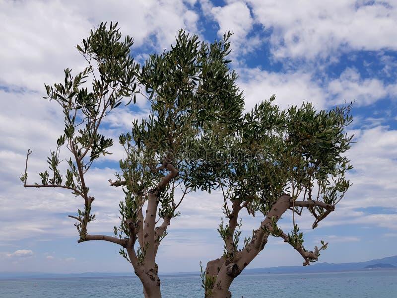 年轻橄榄树的照片有美好的背景 免版税库存图片