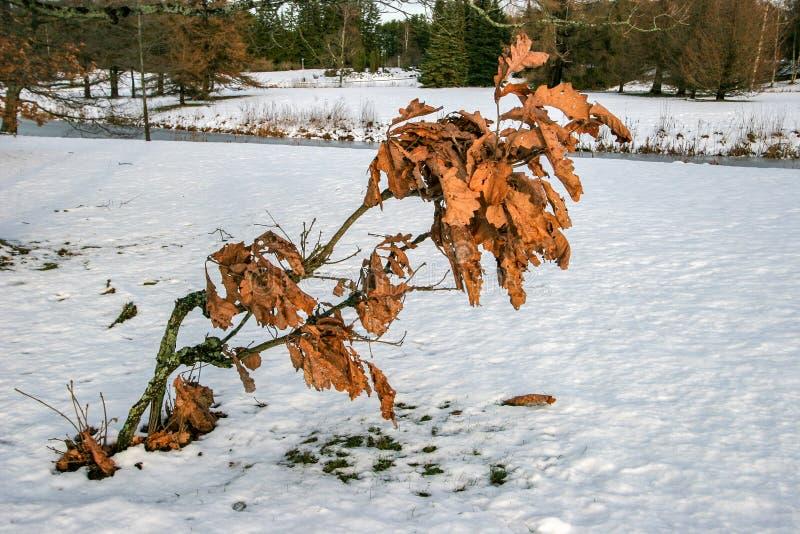 年轻橡树在雪的冬天与退色的红色叶子 免版税库存图片