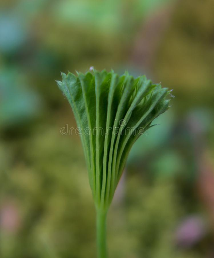 年轻毒菌增长的杜松子酒春天 图库摄影