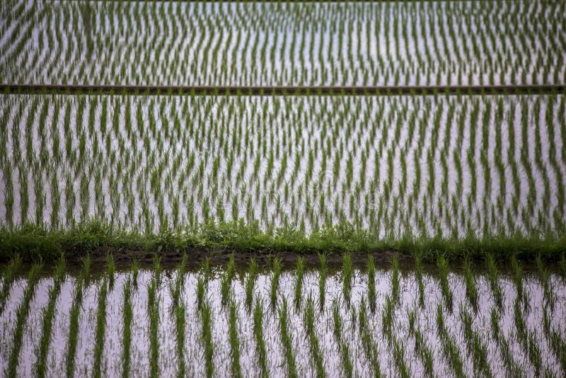 年轻水稻领域看法在河口湖被观看的农村argriculture风景的日本附近 库存图片