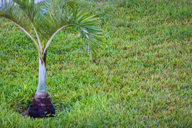年轻油棕榈树树 在绿色草坪的棕榈幼木 油棕榈树保护,重新造林 新概念的生活 库存照片