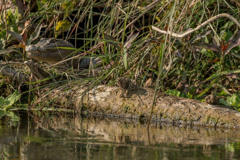 年轻泽鳄鳄鱼湾鳄palustris凝视在它的巢外面的在河岸中在Chitwan国立公园,尼泊尔 库存图片