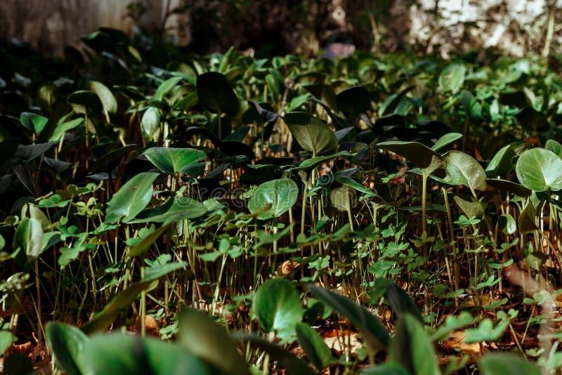 年轻海芋属植物 库存图片