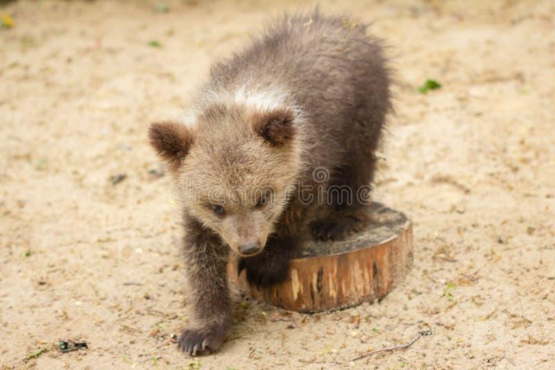 年轻熊在树的,野生生物公园,树桩国民森林里 图库摄影