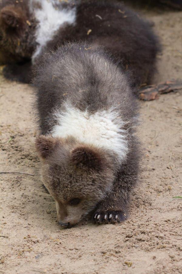 年轻熊在树的,野生生物公园,树桩森林里 免版税库存图片