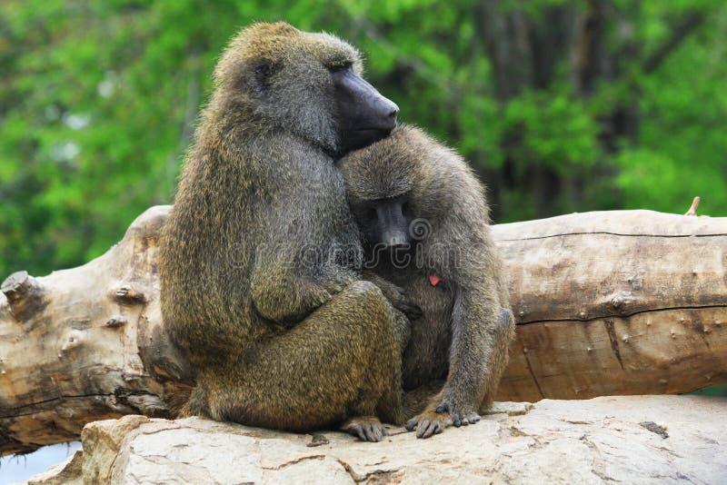 年轻狒狒夫妇 免版税库存照片