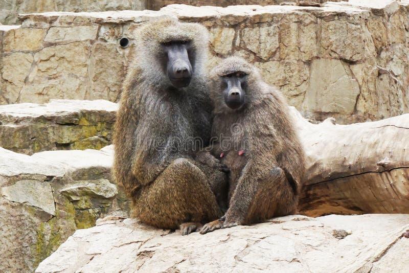 年轻狒狒夫妇 库存照片