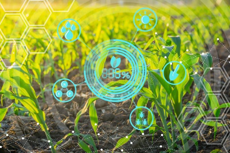 年轻甜玉米领域在农业庭院里 库存图片