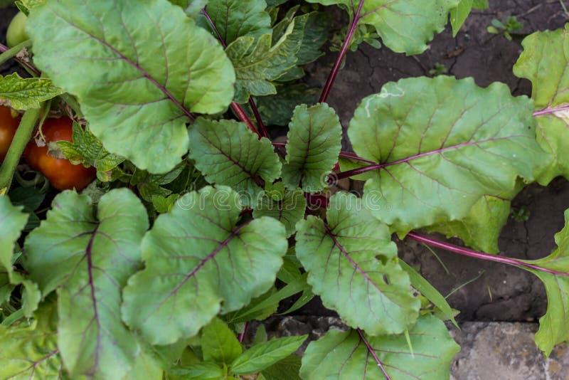 年轻甜菜根种植生长在菜床上 免版税库存照片