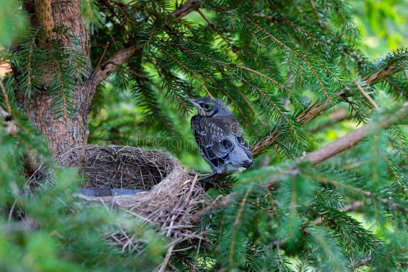 年轻画眉坐在巢的分支小鸡在树枝关闭在春天在阳光下 免版税库存照片