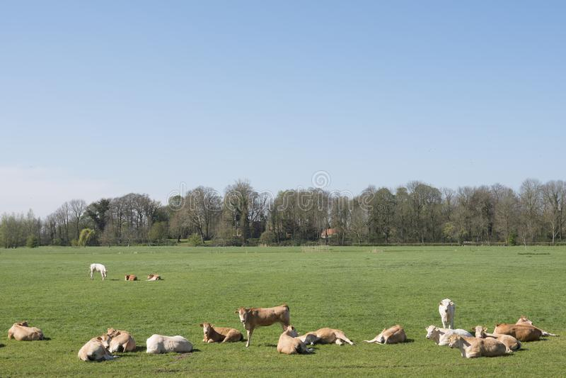 年轻白肤金发的d'阿基旃母牛和calfs在绿色春天风景在荷兰镇附近geldermalsen 免版税库存图片