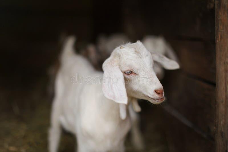 年轻白色山羊孩子,被弄脏的谷仓槽枥在背景中 详细资料 库存图片