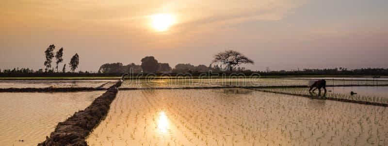 年轻米发芽准备好对生长在米领域在河内, 免版税库存图片