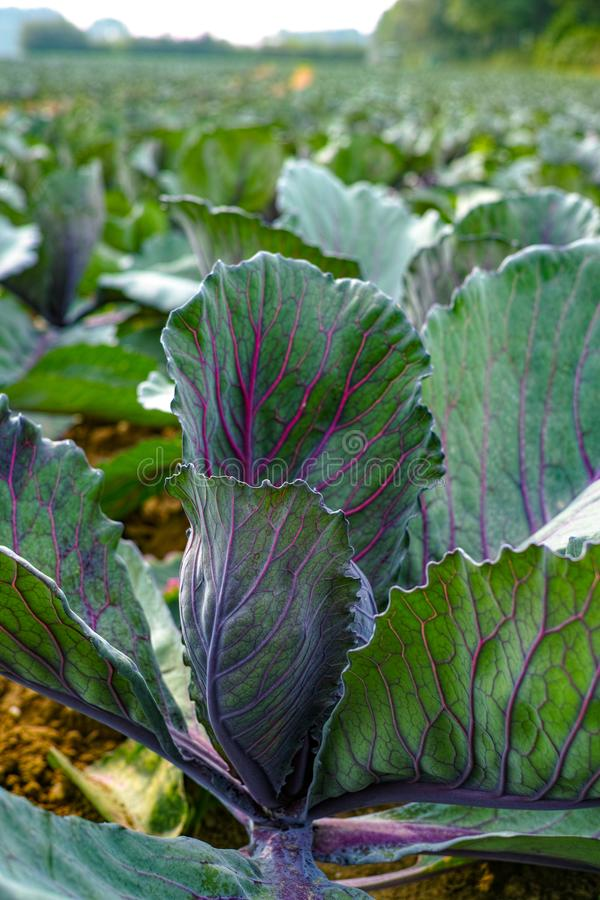 年轻紫色圆的圆白菜种植生长在农田和方式 库存图片