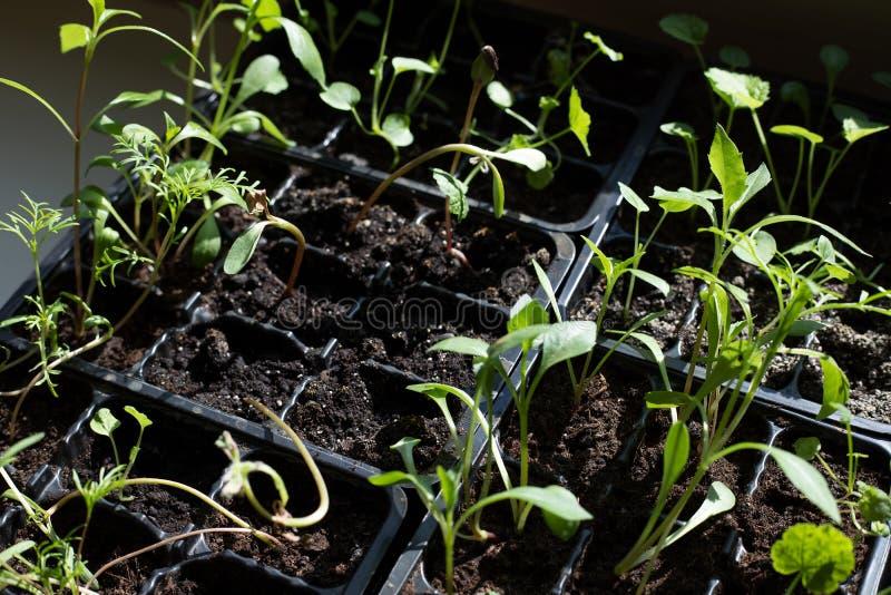 年轻绿色新芽为太阳到达 库存照片