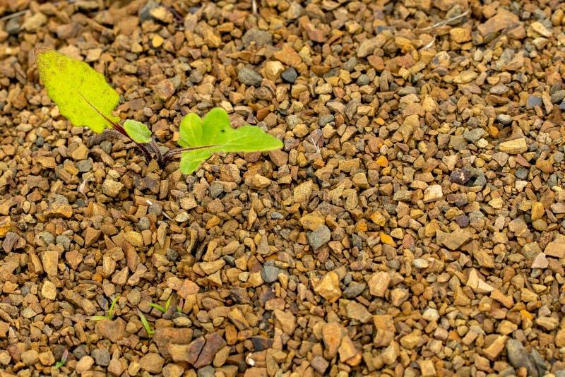 年轻绿色植物通过岩石地面增长 免版税库存图片