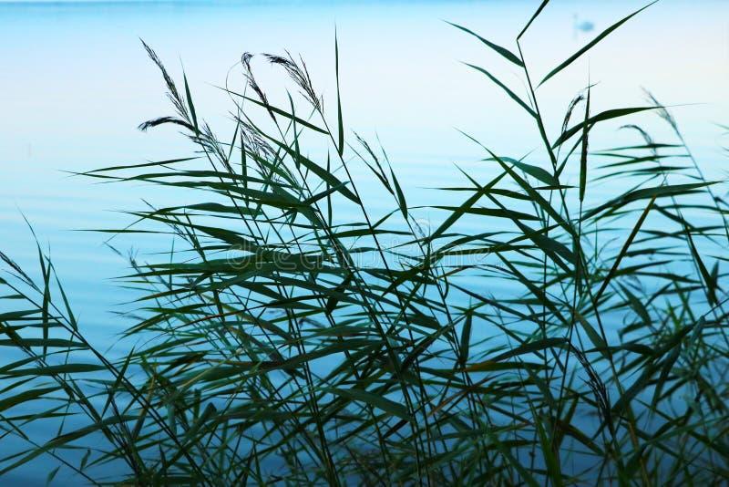年轻绿色芦苇在日落时间的湖 免版税库存图片