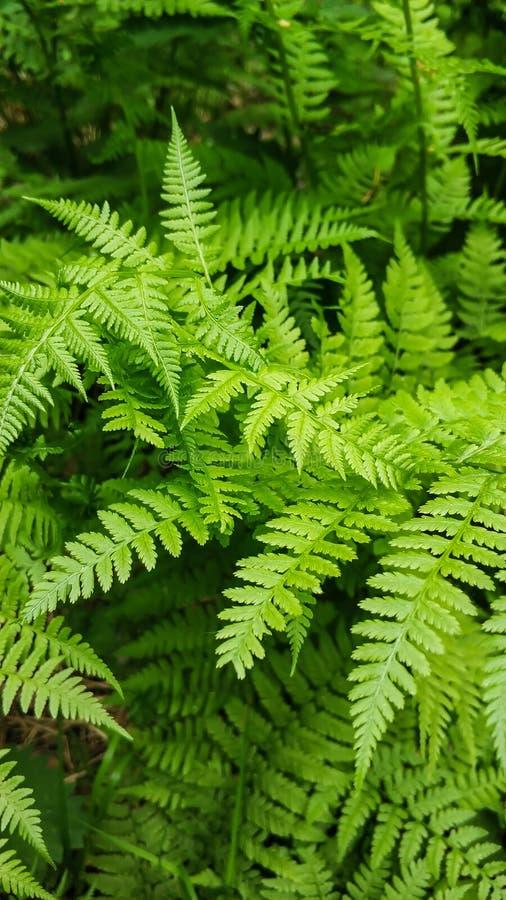 年轻绿色蕨丛林在森林特写镜头的 乌拉尔的本质在俄罗斯 免版税库存图片