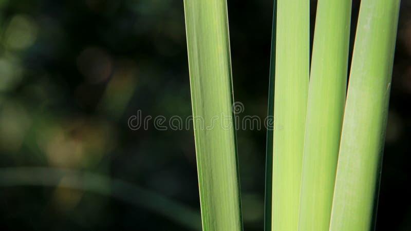 年轻绿色里德 库存图片