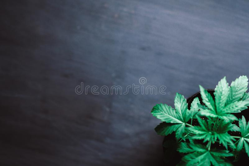 年轻美丽在美好的背景,室内耕种,种植大麻增长绿色的医疗大麻大麻叶子 库存照片