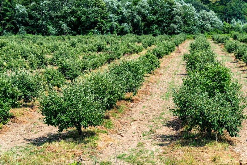 年轻苹果树在果树园 免版税库存图片