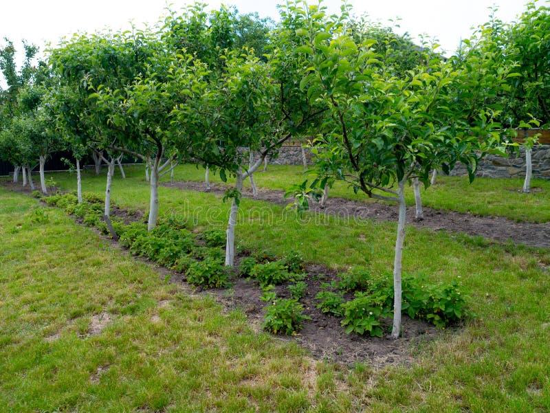 年轻苹果树庭院与草莓灌木的从下面 免版税库存照片