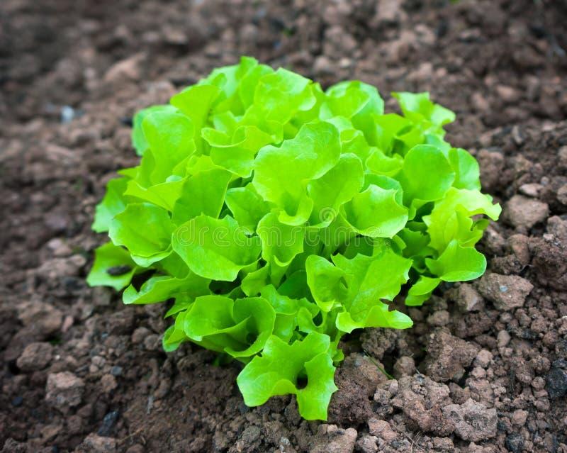 年轻莴苣在庭院领域增长 库存照片
