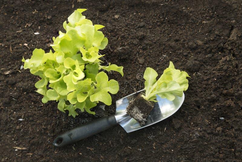 年轻莴苣植物和一把铁锹在棕色土壤在菜 图库摄影
