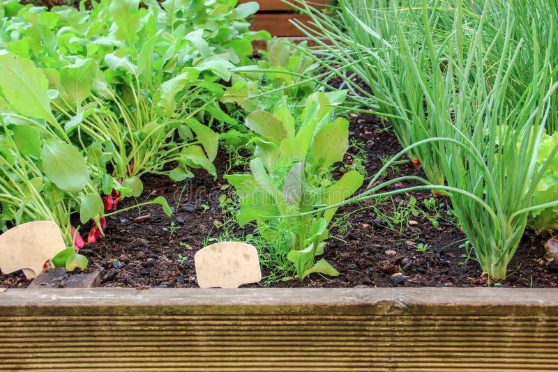 年轻萝卜、生长在庭院里的莴苣和葱 免版税图库摄影