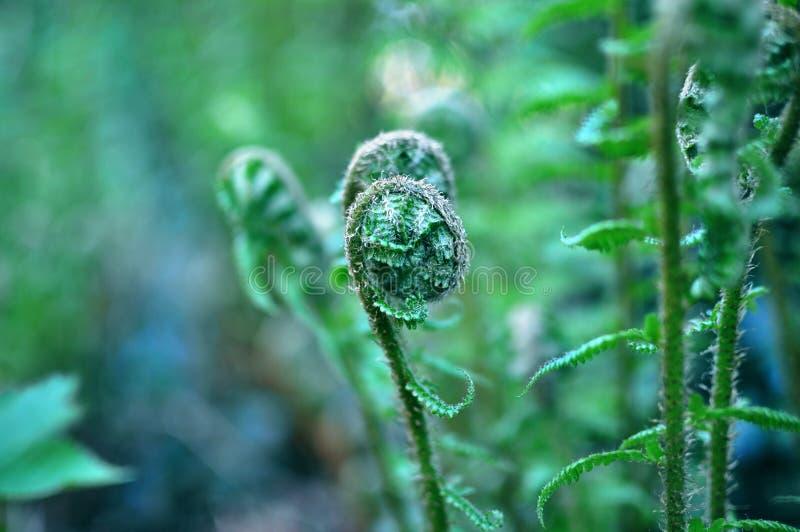 年轻蕨在一个神秘的森林,被定调子的蓝色里,接近与bl 库存图片