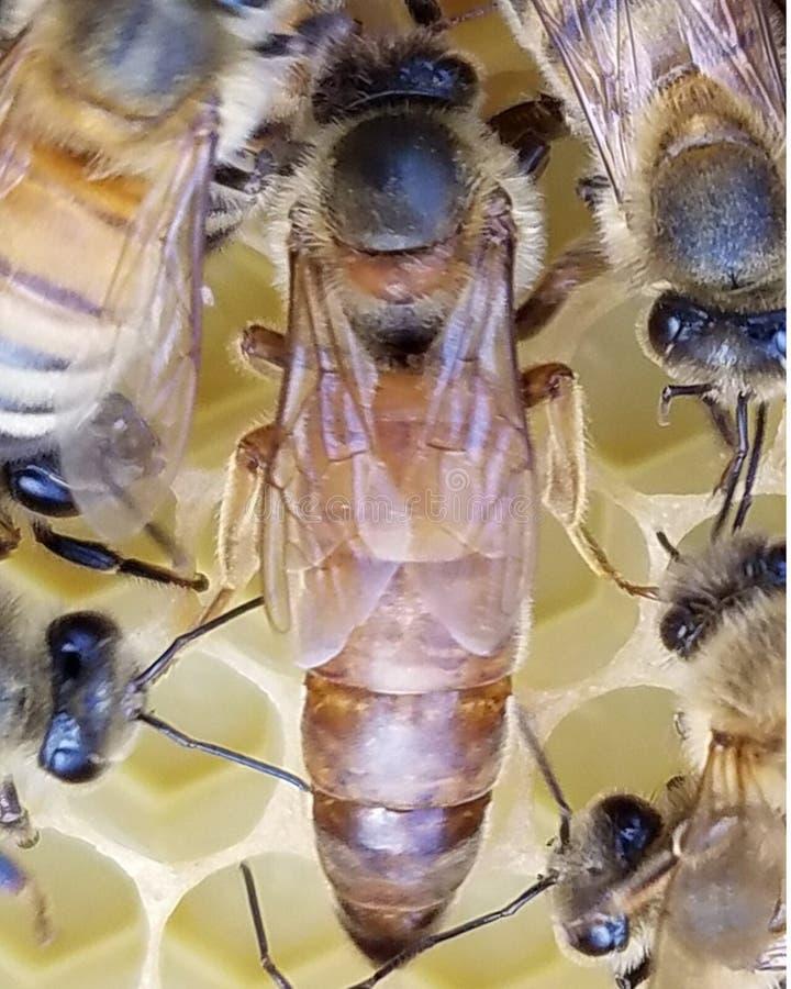 年轻蜂蜜蜂女王/王后 免版税库存照片