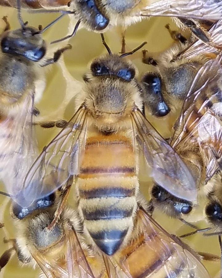 年轻蜂蜜蜂工作者 免版税库存图片