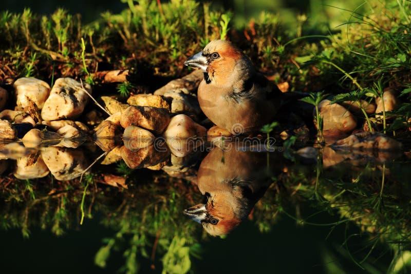 年轻蜡嘴鸟喝 库存照片