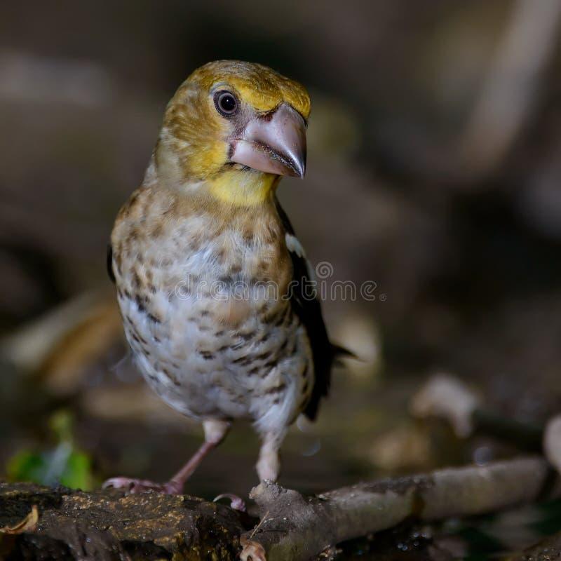 年轻蜡嘴鸟球脆霉素球脆霉素 免版税图库摄影