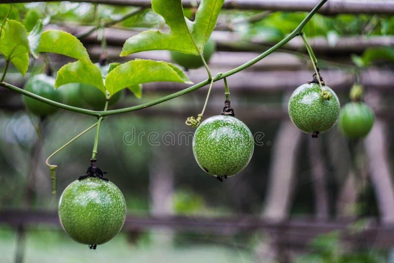 年轻西番莲果在西番莲果树枝增长 免版税库存图片