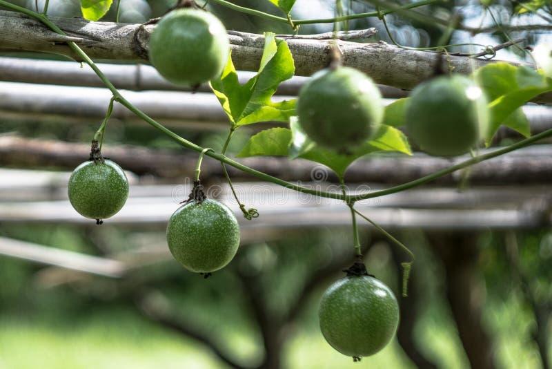 年轻西番莲果在西番莲果树枝增长 库存照片