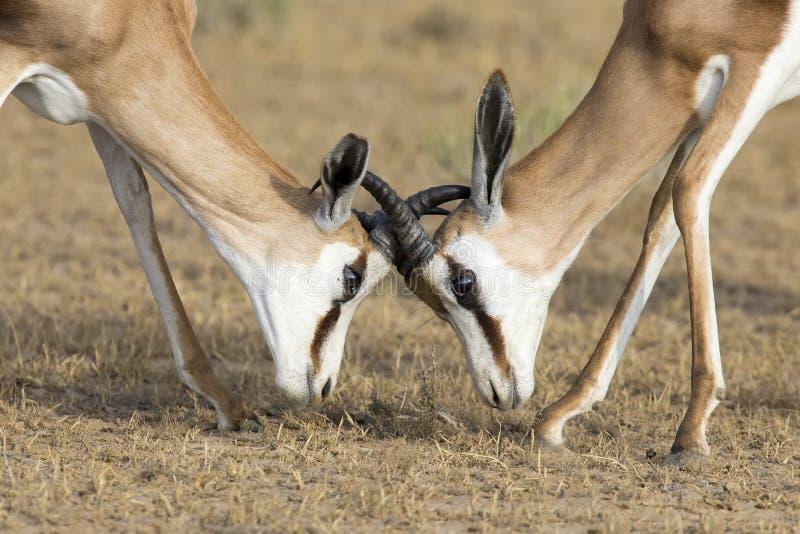 年轻跳羚男性实践争吵为在sho的优势 免版税图库摄影