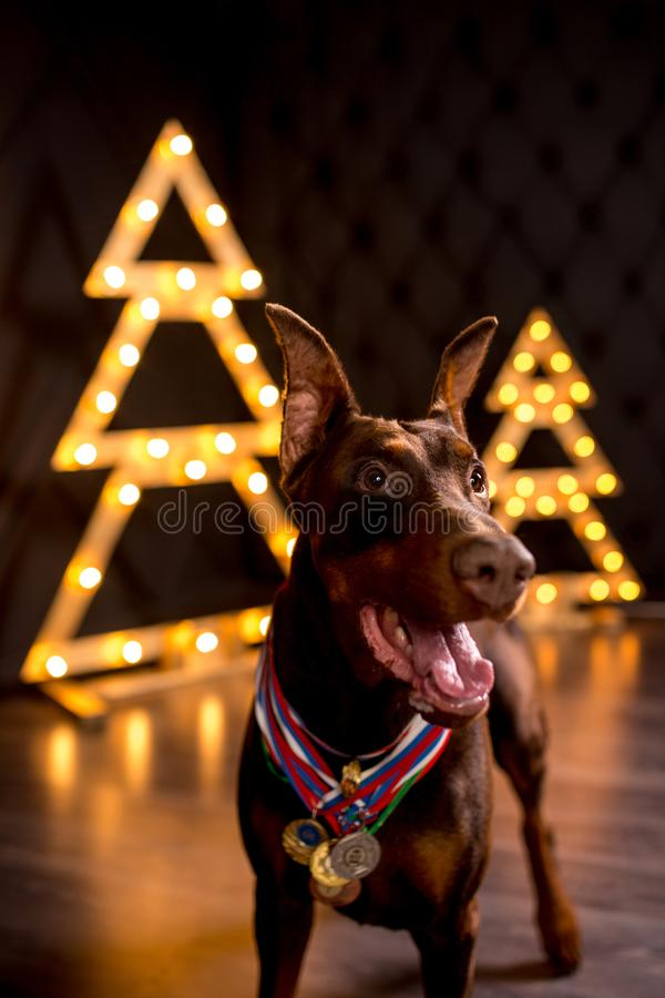 年轻逗人喜爱的愉快的微笑的短毛猎犬狗逗留beiside黑色圣诞树 免版税库存图片
